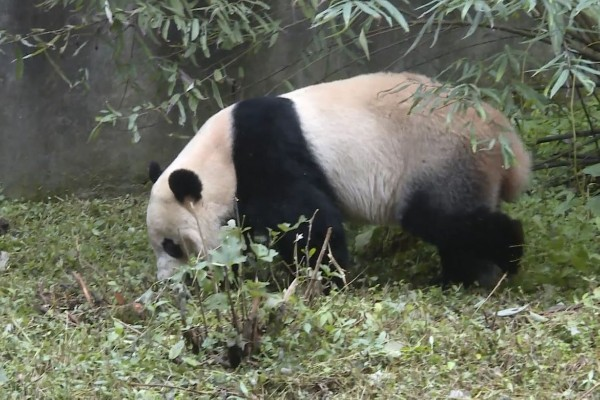 Panda BeiBei regresa a China